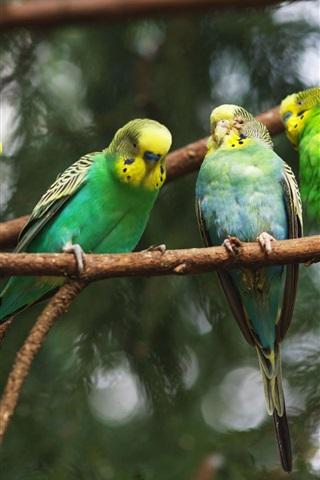 iPhone Wallpaper Four green parrots close-up
