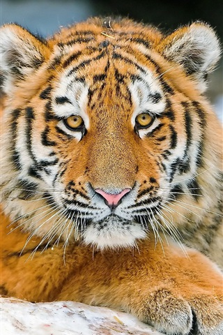 iPhone Wallpaper Tiger's face, eyes, claws, close-up