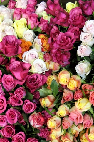 iPhone Wallpaper Diverse colors of roses world