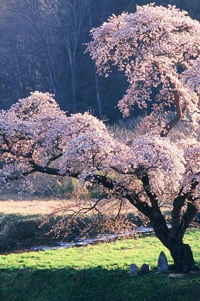 Fonds D Ecran Paysage Japonais La Fleur De Cerisier 1920x1200 Hd Image