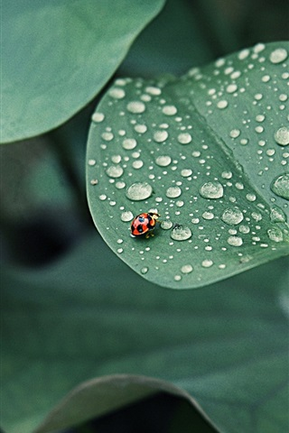iPhone Wallpaper Lotus leaf, ladybug, drops of water, insects, green