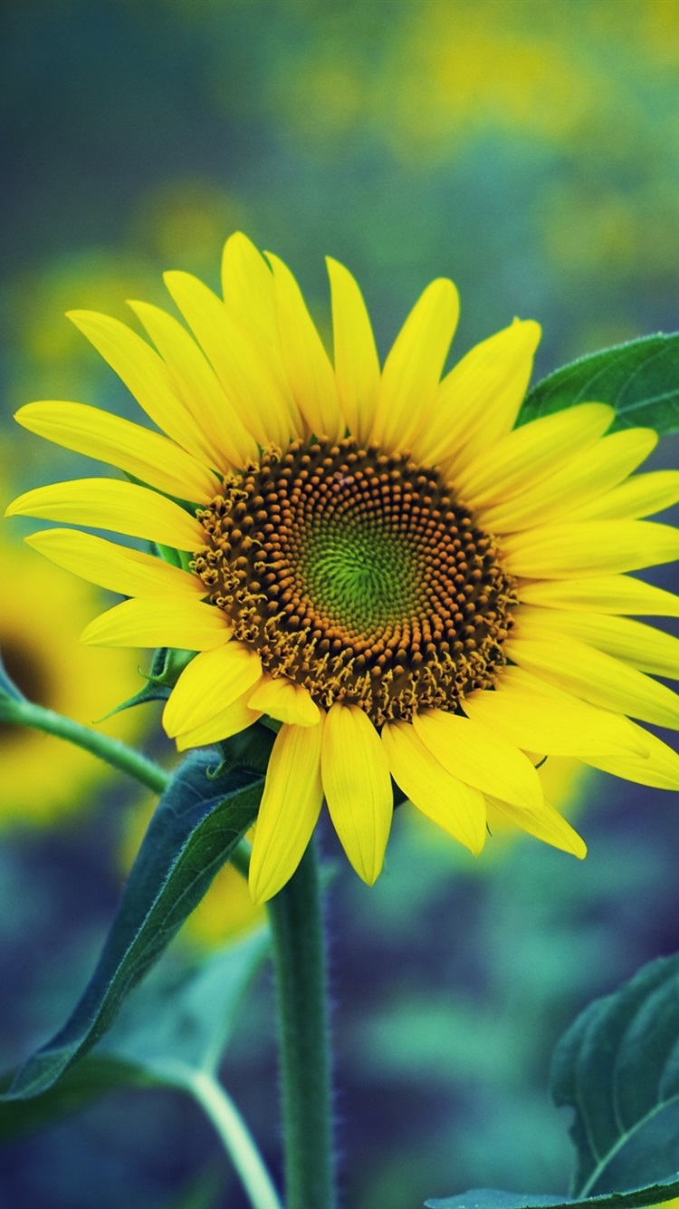 Spring Sunflower Yellow Flowers Green Fuzzy Background