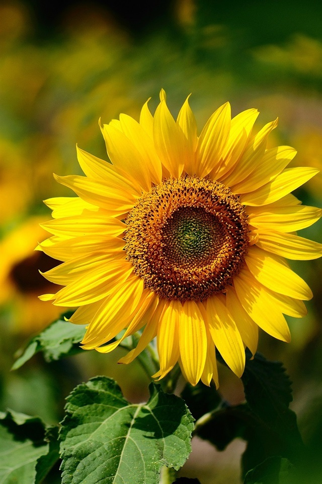 wallpaper yellow flower sunflower summer sunny blurring