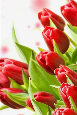 iPhone Wallpaper A bouquet of red tulips, white background