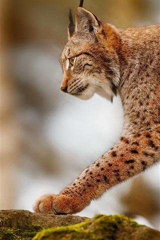 iPhone Wallpaper Lynx hunting, predator animals