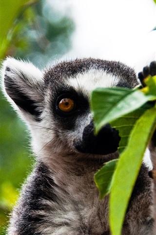 iPhone Wallpaper Forest lemur