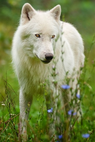 iPhone Wallpaper Arctic wolf predator