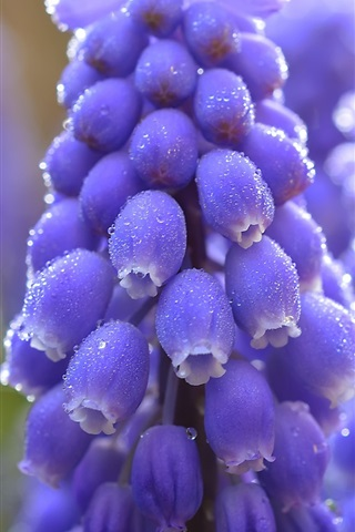 iPhone Wallpaper Blue muscari flowers macro photography, water drops