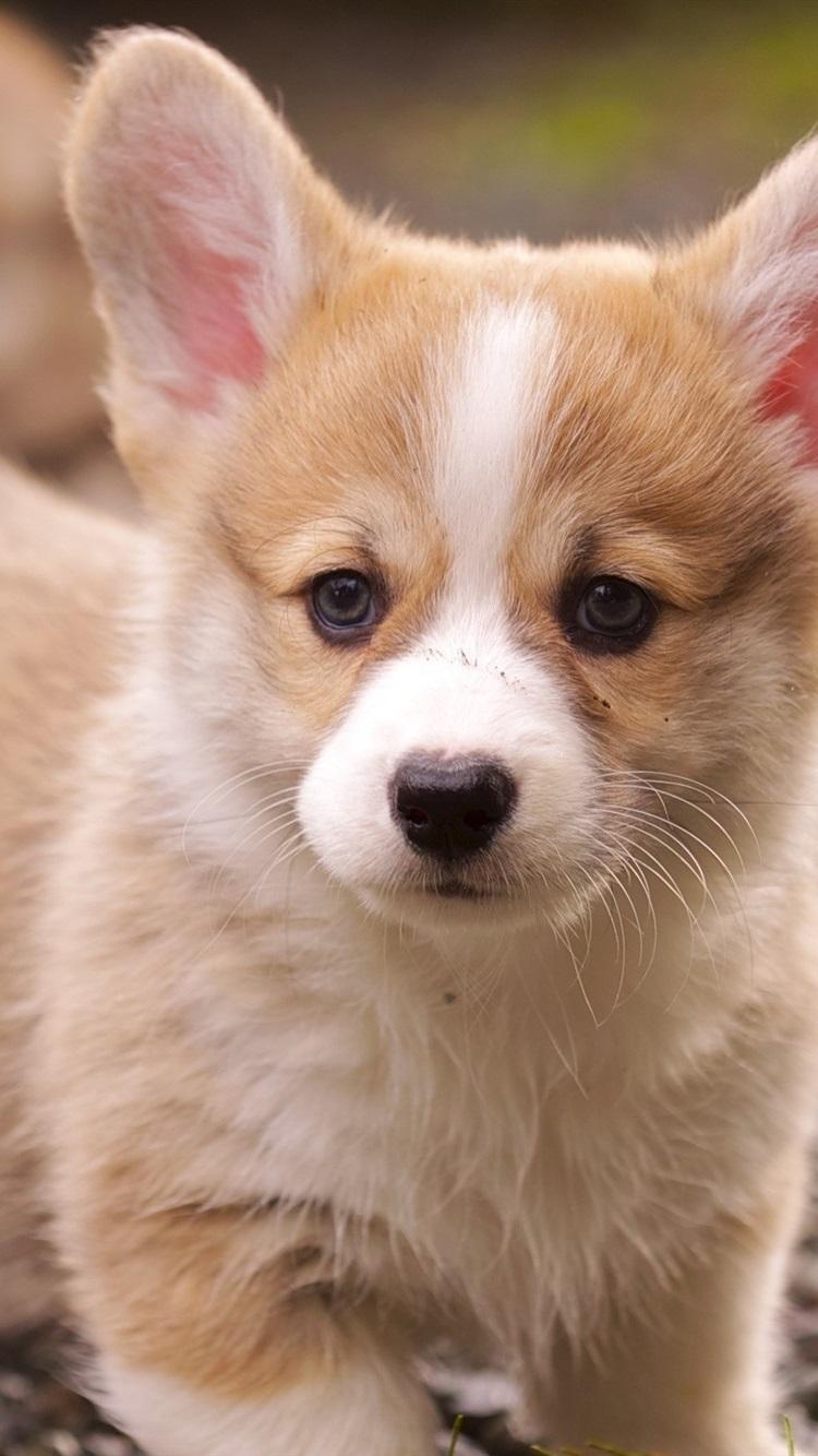 コーギーの子犬 750x1334 Iphone 8 7 6 6s 壁紙 背景 画像