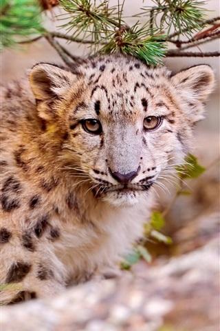 iPhone Wallpaper Cute snow leopard, face close-up, predator animals