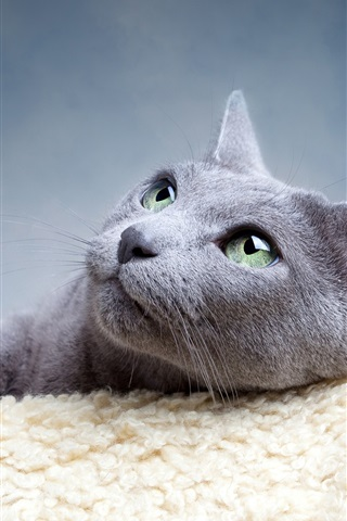 iPhone Wallpaper Gray cat divert attention