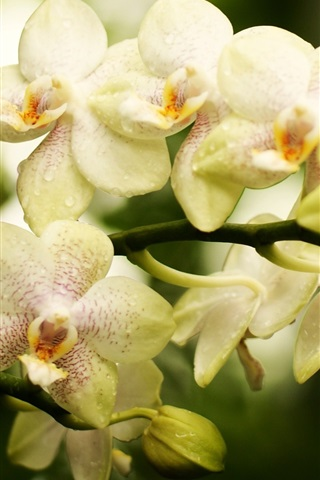 iPhone Wallpaper Orchid, phalaenopsis, flowers close-up