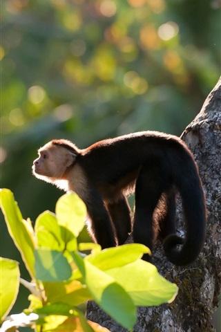 iPhone Wallpaper White-headed capuchin monkeys