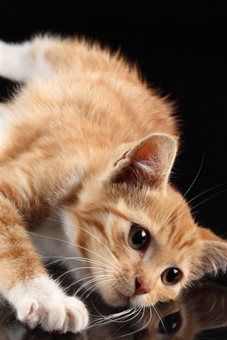 iPhone Wallpaper Cute cat, white paws, lying at desktop, reflection, black background