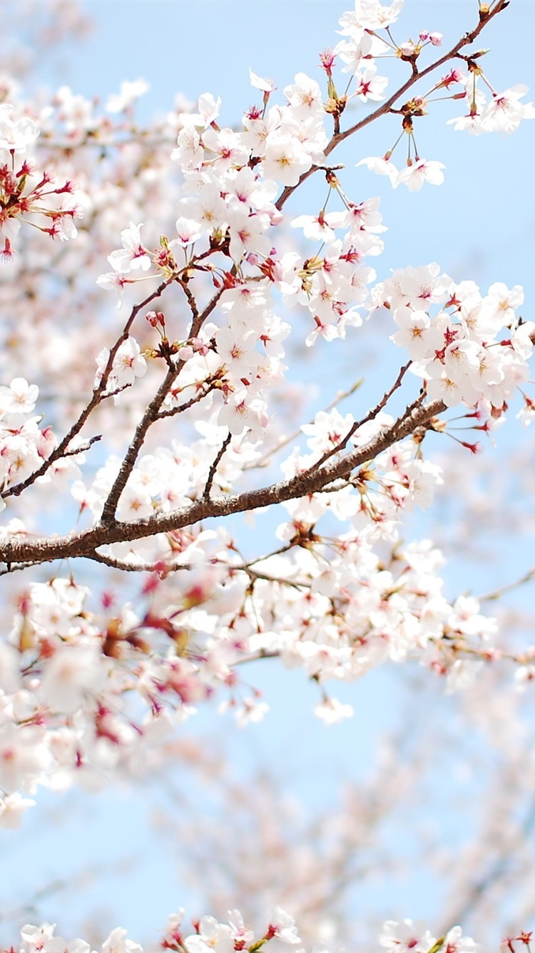 Fonds D Ecran Cerisier En Fleurs Roses Brindille Close Up 2560x1600