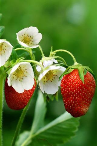 iPhone Wallpaper Strawberries, flowers, leaves, green background