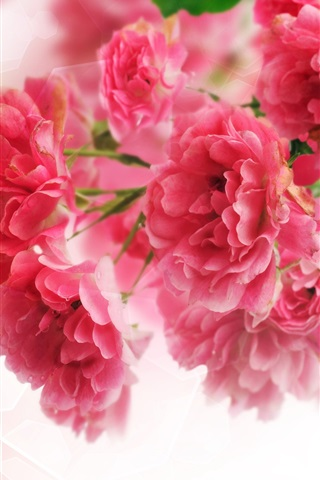 iPhone Wallpaper Close-up of pink carnation flowers