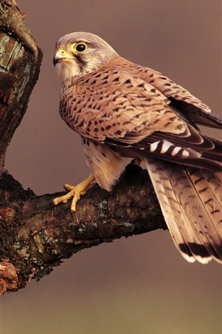 iPhone Wallpaper Falcon, brown feathers, tree branch