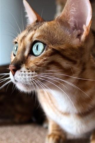iPhone Wallpaper Kitten look window, cat face close-up