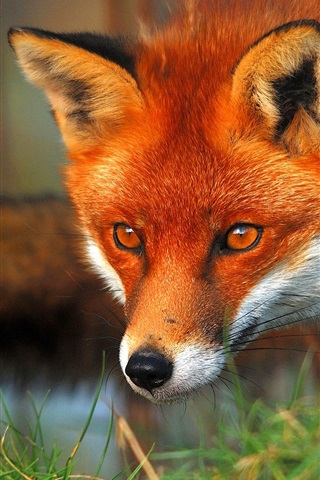 iPhone Wallpaper Red fox face and eyes