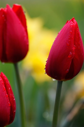 iPhone Wallpaper Red tulips, flower bud, water drops