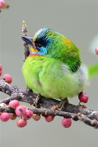 iPhone Wallpaper Asian woodpecker, green feather bird, branch, berries