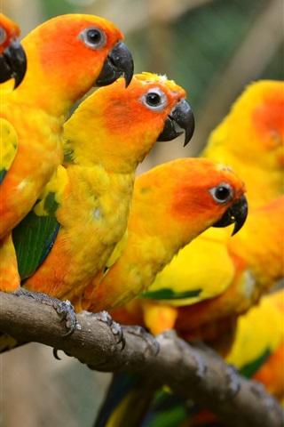 iPhone Wallpaper Beautiful birds, yellow parrots