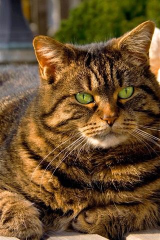 iPhone Wallpaper Cat of tabby, bench, sunshine