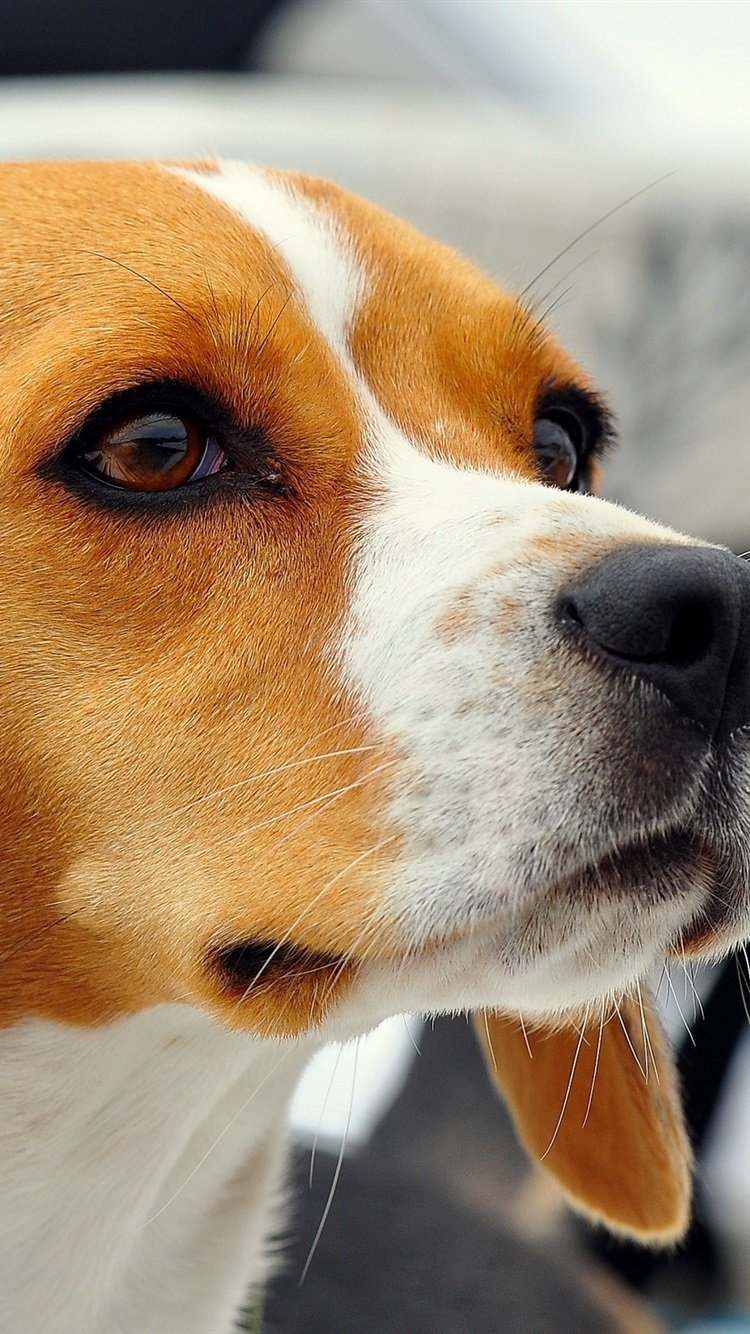 Dog Beagle Close Up 750x1334 Iphone 8 7 6 6s Wallpaper Background Picture Image