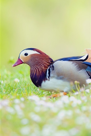 iPhone Wallpaper Mandarin duck in the grass, blur background