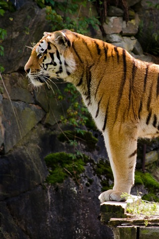 iPhone Wallpaper Carnivore, tiger side view