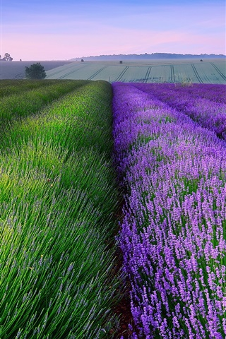 iPhone Wallpaper England summer lavender fields, house, dusk