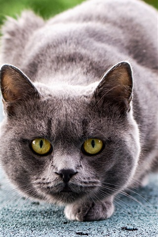 iPhone Wallpaper Gray cat ready to attack