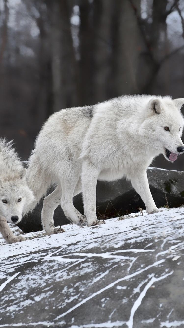冬に飢えた狼 750x1334 Iphone 8 7 6 6s 壁紙 背景 画像
