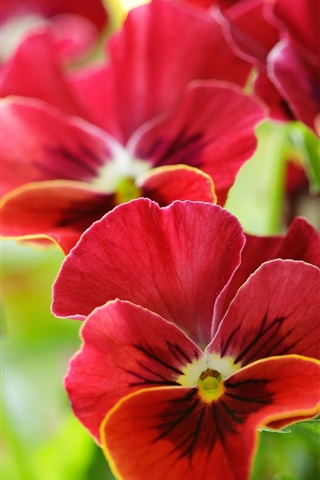 iPhone Wallpaper Red pansy flowers macro