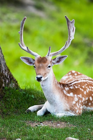 iPhone Wallpaper Summer nature deer
