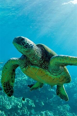 iPhone Wallpaper Two Green Sea Turtles, underwater, coral reef, Maui
