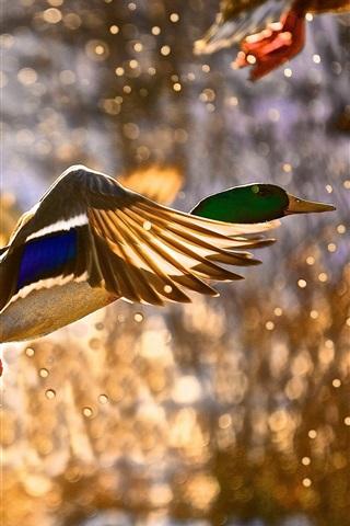 iPhone Wallpaper Wild duck flying, water splashing