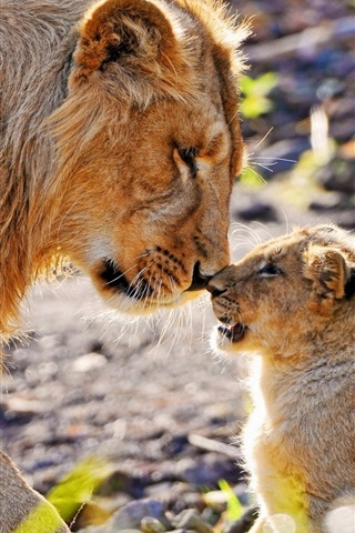 iPhone Wallpaper Animal photography, mother lion and cub