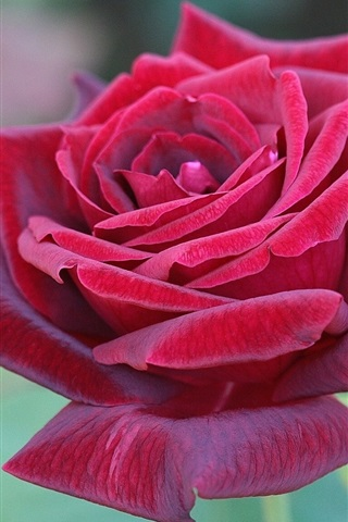 iPhone Wallpaper Beautiful red rose flower close-up