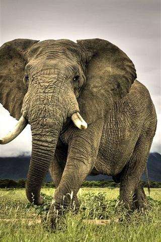 iPhone Wallpaper Big animals, elephant
