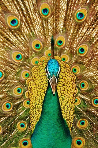 iPhone Wallpaper Birds close-up, peacock, beautiful tail