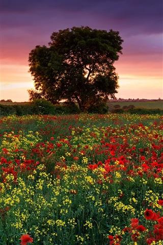 iPhone Wallpaper England summer evening, fields, poppies, rape, trees