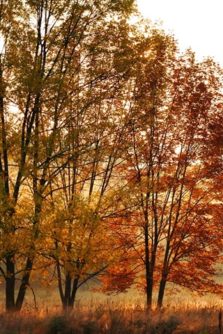 iPhone Wallpaper Fall trees, leaves, yellow, forest, morning sun