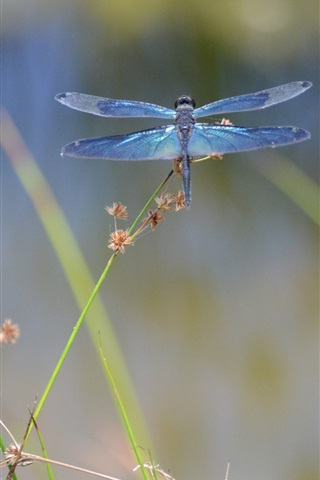 iPhone Wallpaper Insect dragonfly macro photography
