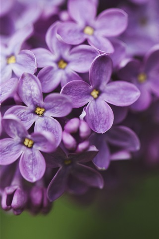 iPhone Wallpaper Lilac purple flowers, petals macro, green background