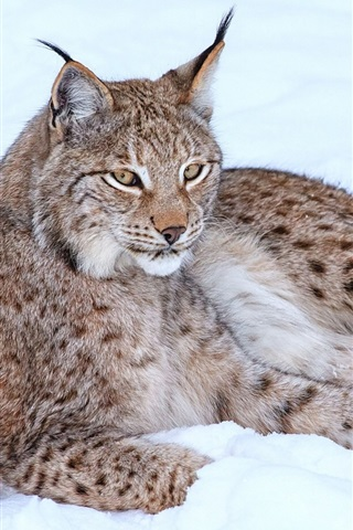 iPhone Wallpaper Lynx in snow winter