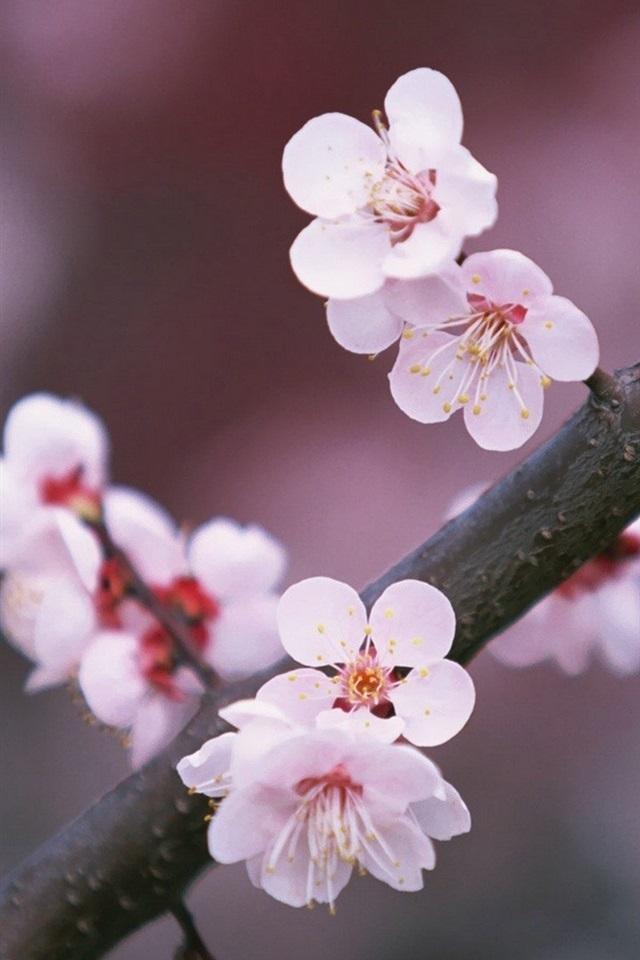 foto de Fonds d'écran Une branche d'arbre cerise fleurs en fleurs ...