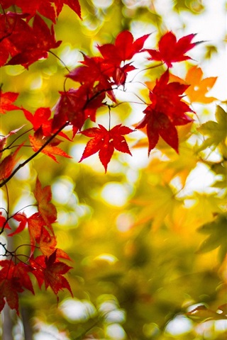 iPhone Wallpaper Autumn maple leaves, yellow, red, branches, blur