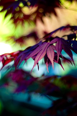 iPhone Wallpaper Autumn purple maple leaves, bokeh